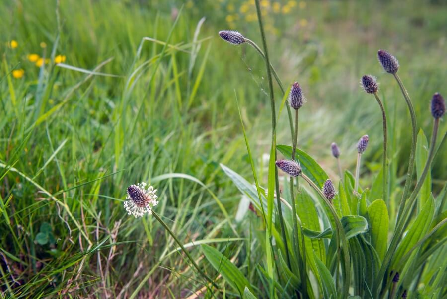 Kwiaty i liście babki lancetowatej na trawniku.