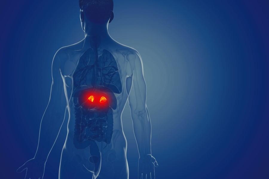 Grafika 3D przedstawiająca sylwetkę mężczyzny. Na jaskrawy kolor podkreślono lokalizację nadnerczy.