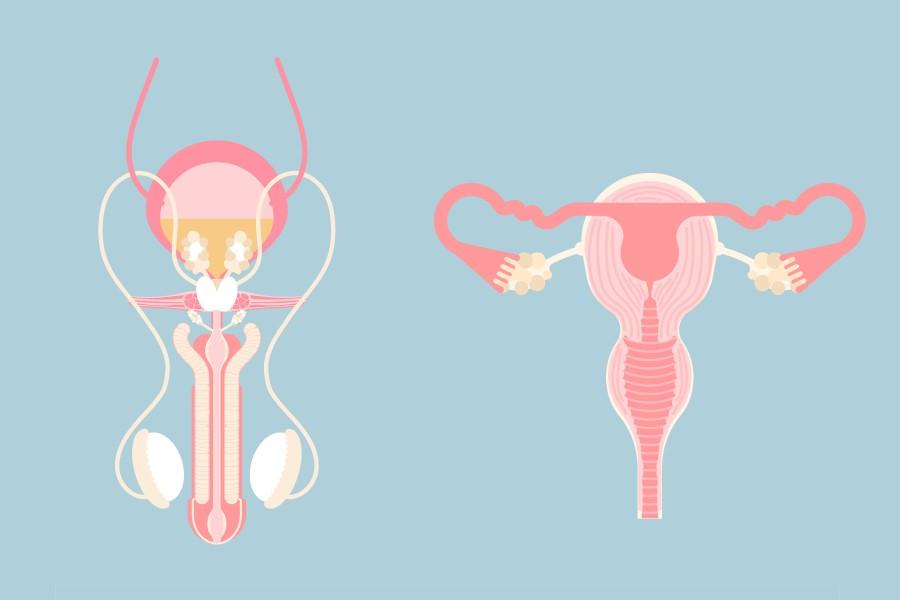 Grafika przedstawiająca rysunkowy schemat męskiego i żeńskiego układu rozrodczego.