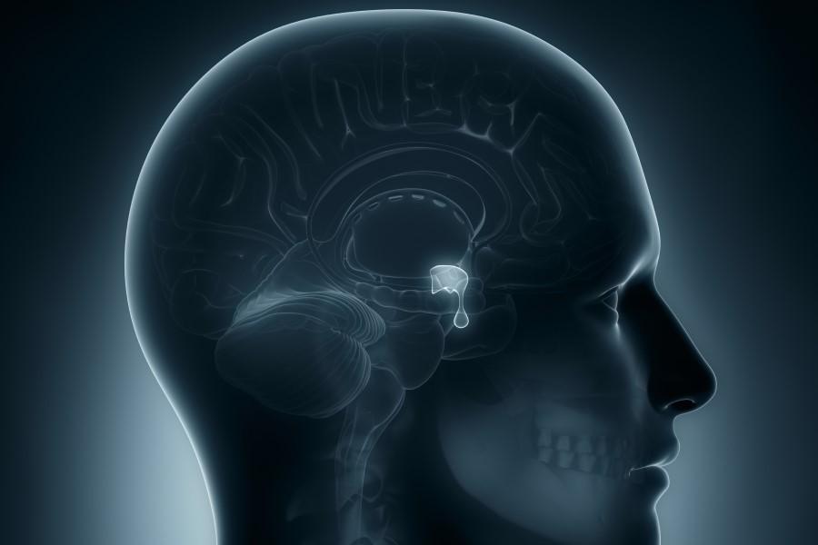 Grafika 3D przedstawiająca narządy wewnątrz ludzkiej czaszki, w tym przysadkę mózgową.