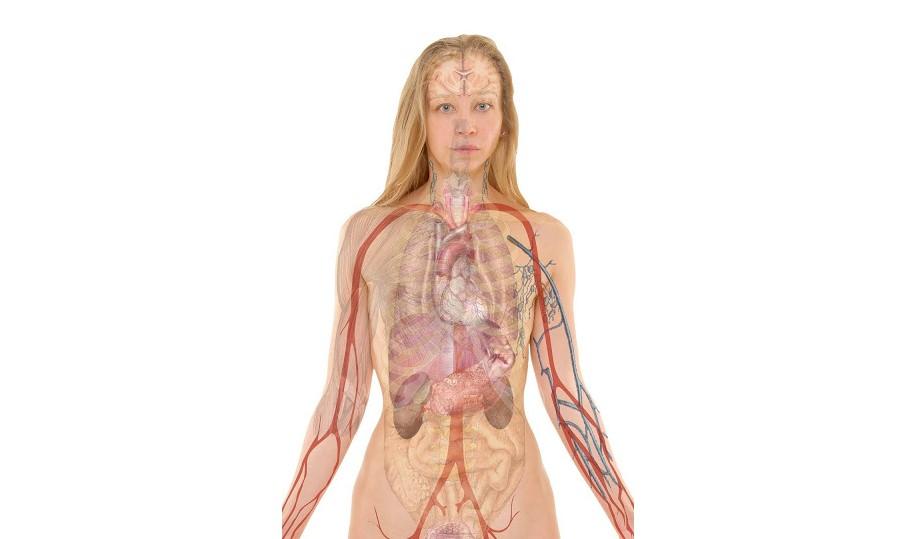 narządy wewnętrzne człowieka