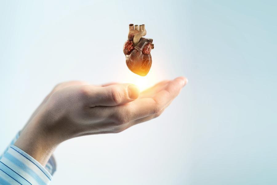 Złączone, męskie dłonie podtrzymują anatomiczny model ludzkiego serca